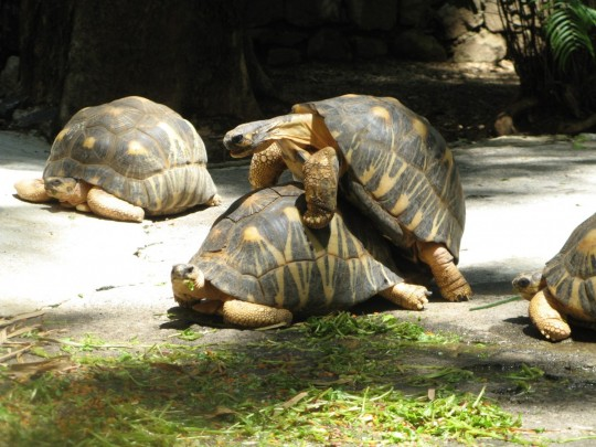 turtles_mating_reproduction_tortoise_nature_environment_wildlife_zoology-924862.jpg!d