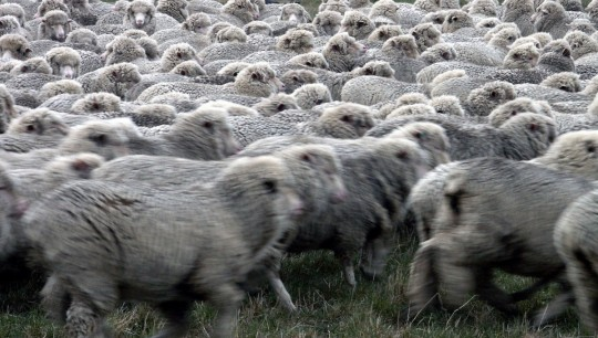 newzealand_wool_animals_rural_sheep_farming_flock_mob-172569.jpg!d