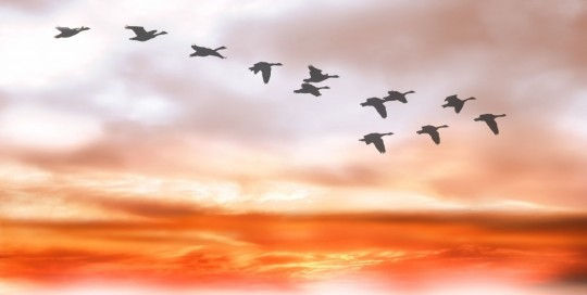 sky_clouds_geese_flightless_geese_covered_sky_birds_fly_mood-555542.jpg!d