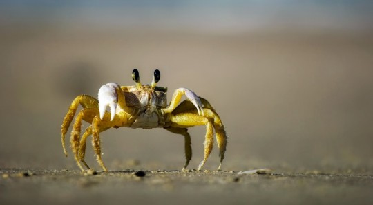 crab_beach_sand_macro_closeup_crawling_eyes_hdr-1280182.jpg!d