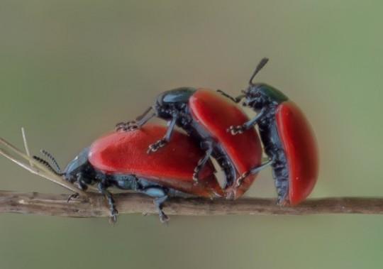 beetle_insect_macro_red_beetle_blades_of_grass_red_maik_fer_threesome-920531.jpg!d